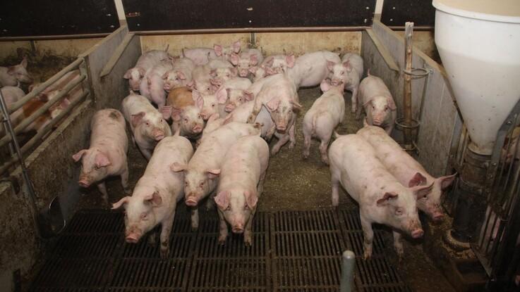 Svinerådgiver: Prisstigninger på sojaskrå forringer dit økonomiske udbytte af grisene