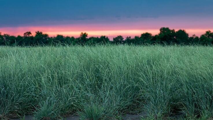 Hvedegræs kan sænke CO2-udledning i landbruget markant