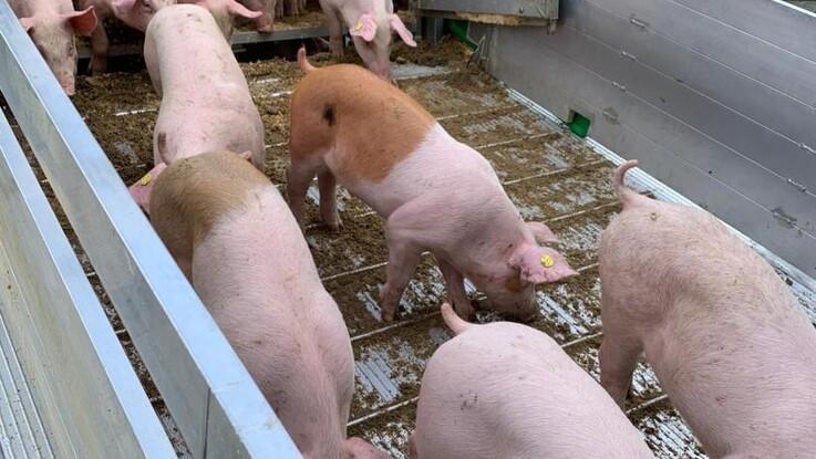 Erhvervet advarer mod danske særregler om transporthøjde for grise