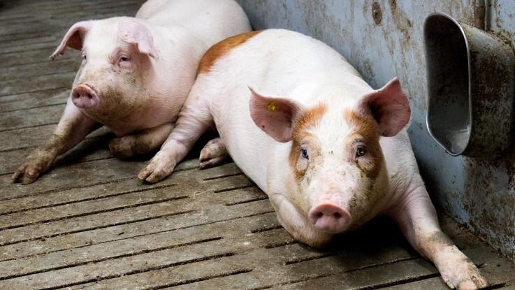 Stort svinepestudbrud i Polen: Dansk eksport aflyst