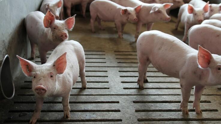 Efter tilbagekrævning af løn: Svineproducents bedrift ransaget af politiet