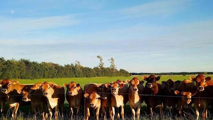 Næsten halvdelen af Danmarks kvægbestand kommer på græs en del af året