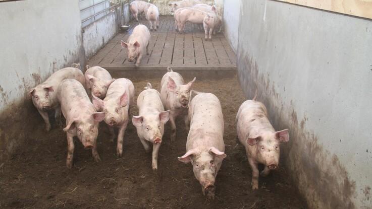 Mange nye udbrud af ASF i svinebesætninger i Polen