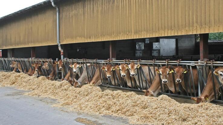 Forskere forsøger at pottetræne køer