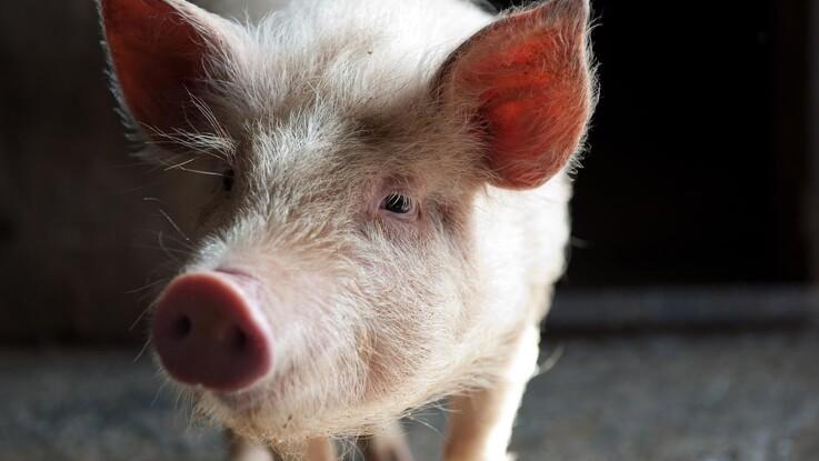 ASF bekræftet på danskejet svinefarm i Rumænien