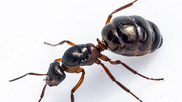 Stoffer i myrer kan beskytte mod plantesygdomme