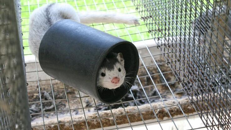 Flertal vil forlænge minkforbud