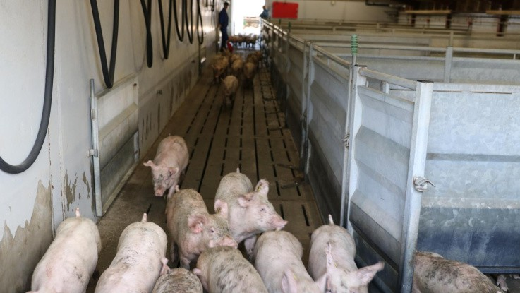 Regningen for højdekrav lander hos svineproducenterne