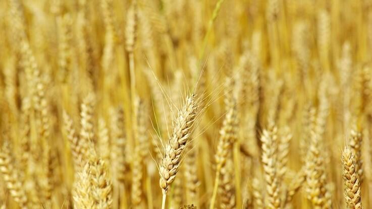 Jyske Markets: Udsigt til regn sætter hvedepriserne under pres