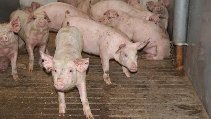 Ro på det tyske slagtesvinemarked