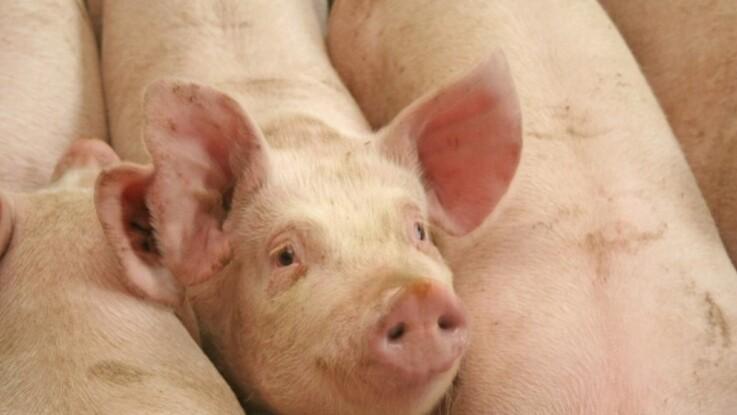 Danskere smuglede svinesæd til Australien