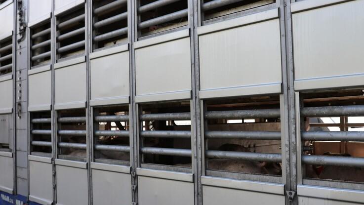 Færre grise dør under indtransport