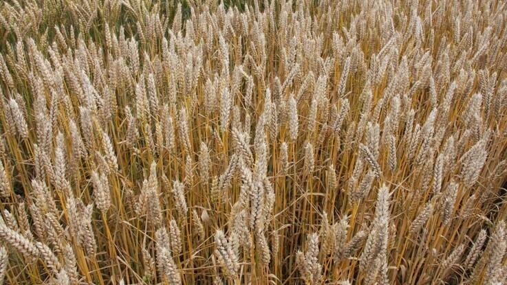 Husk fristen i dag for hovedafgrøden på marker med MFO-græsudlæg