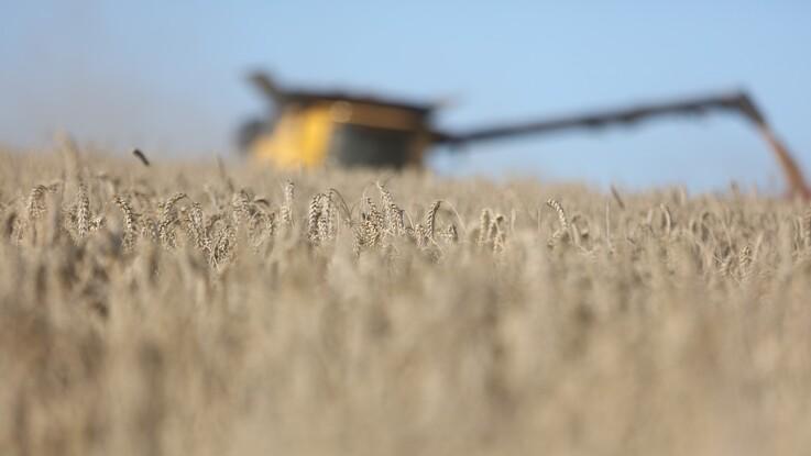 Fransk hvede cementerer stærk konkurrenceevne
