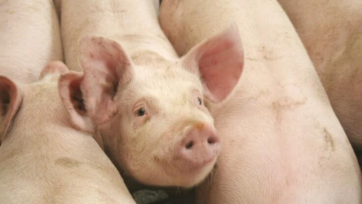 Kontrolkampagner målrettet svinebesætninger