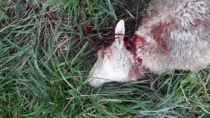 Ulv dræber 33 får