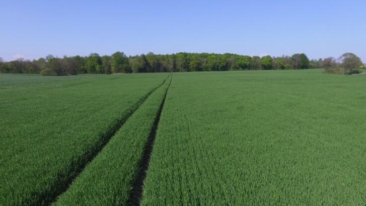 Landmænd kan tvinges til at høste umodent korn