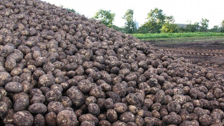 Kvæstet af kartoffeloptager