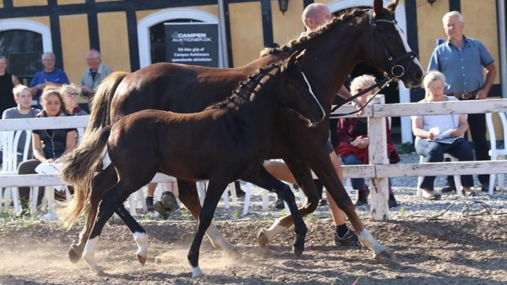 Slagsmål med Skat lukker kendt heste-stutteri