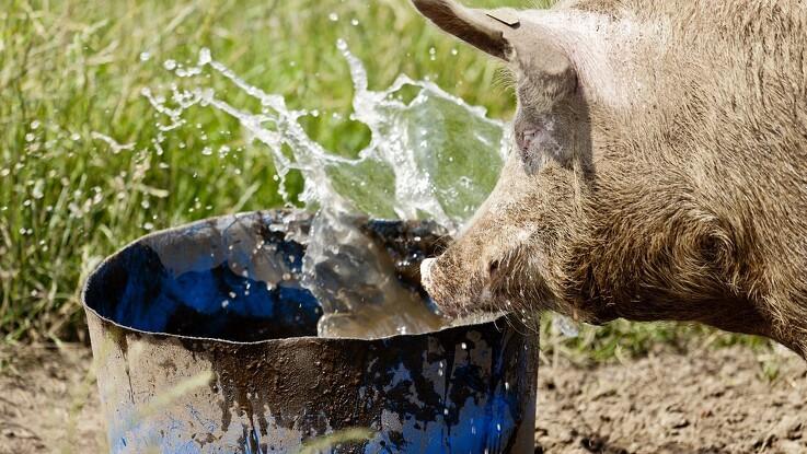Cola-drikkende gris er død