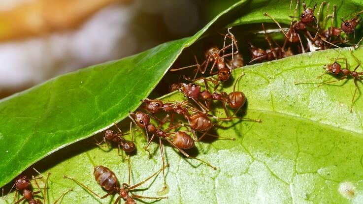 Myrer som mulige plantebeskyttere