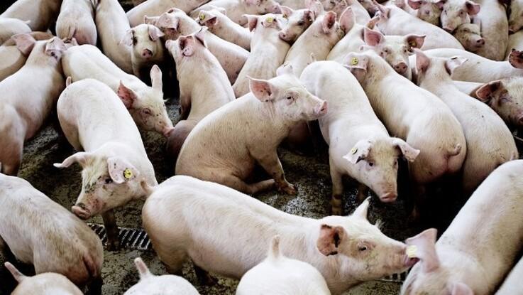 Forvrænget billede af dansk svineproduktion