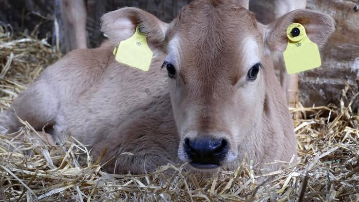 Ko og kalv er længere tid sammen