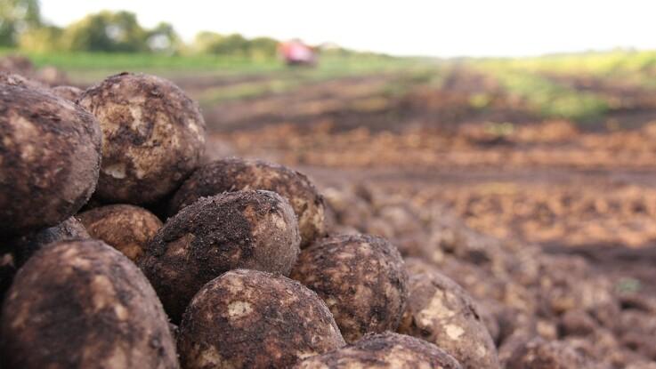 Forskere vil udvikle den svampefri kartoffel