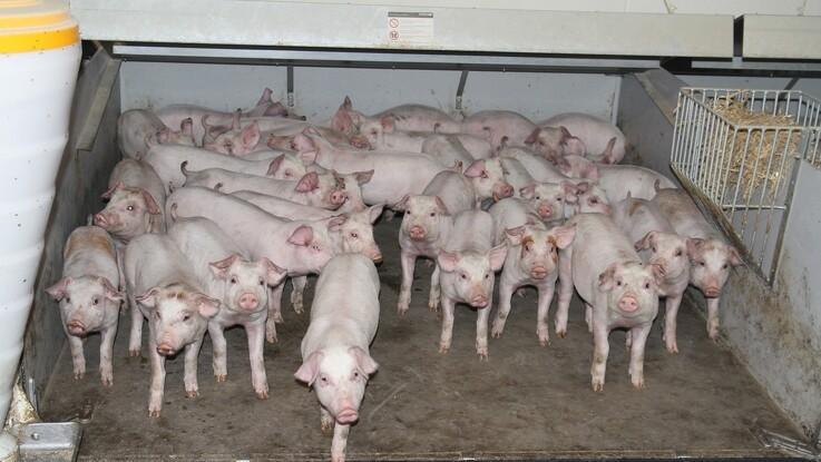 Svineproducent kræves fængslet