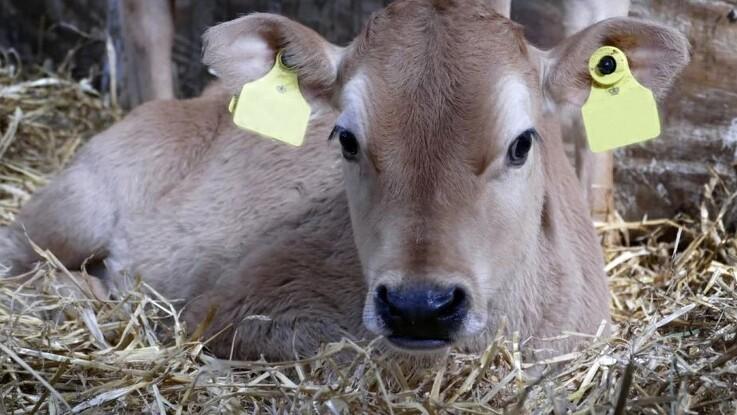 Brandfolk fik reddet kalv op af gyllekanal