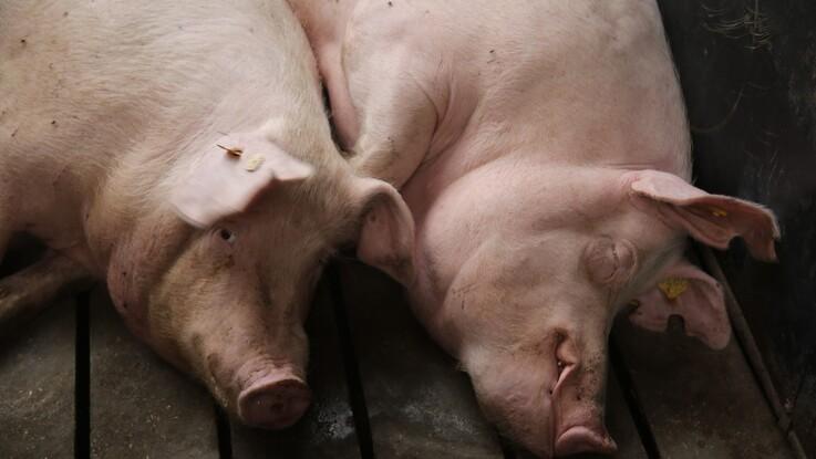Klimaaftrykket på dansk svinekød fortsætter ned