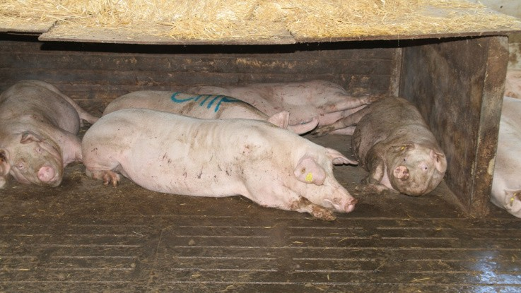 Soen afgør grisens mavesundhed