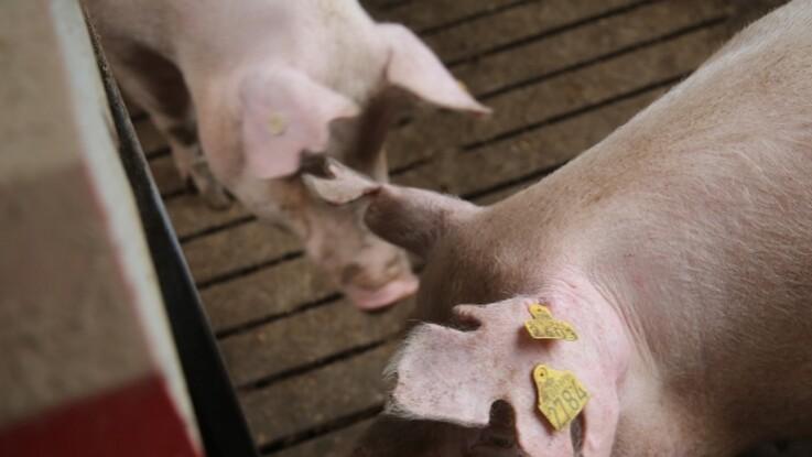 ASF-ramt svineproducent skifter ud i bestyrelsen