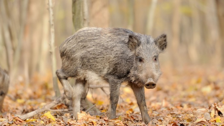 Alvorlig bekymring over ASF-situationen i Polen