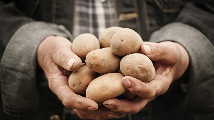 Viborg Kommune vil skabe ny kartoffel-attraktion til millioner