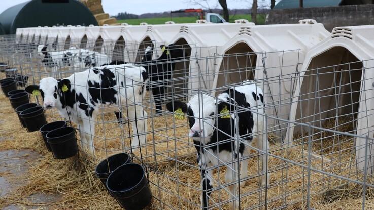 Parvis opstaldning gavner kalvene