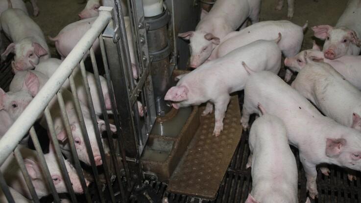 ASF-sager i europæisk tamsvin falder