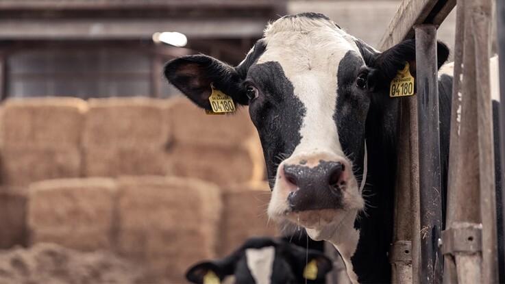 Noteringen for køer sættes op