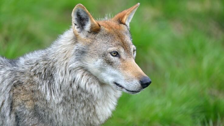 Første ulveangreb bekræftet i Varde Kommune