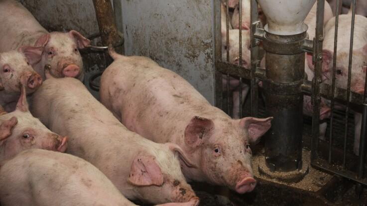 Forbruget af antibiotika i svinestaldene falder fortsat