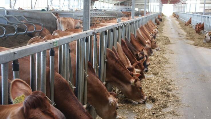 Køer er ikke sarte overfor stivelsesindhold i foder