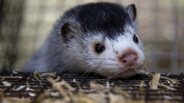 Kopenhagen Fur udbetaler 63 millioner kroner