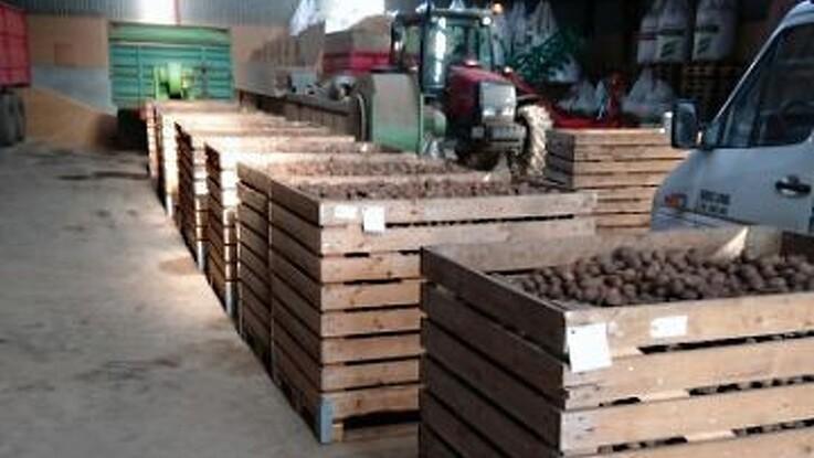 Våde marker giver udfordringer for kartofler