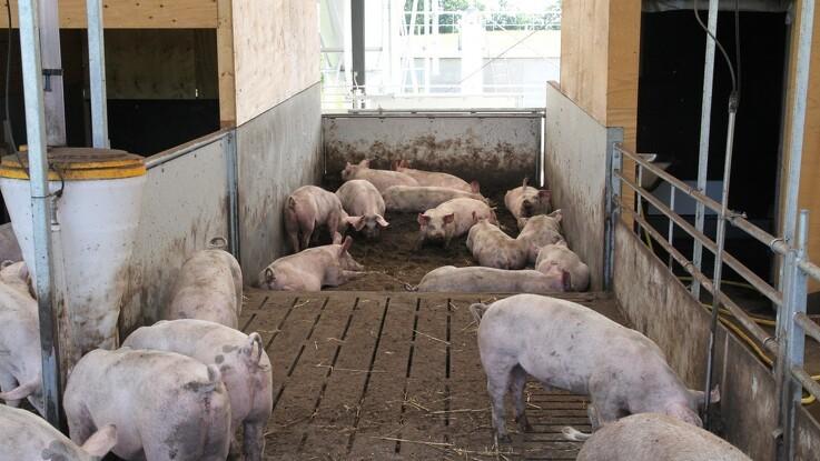 Øget efterspørgsel på magre grise