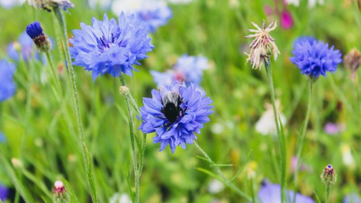 Blomsterstriber er føde til de vilde bier