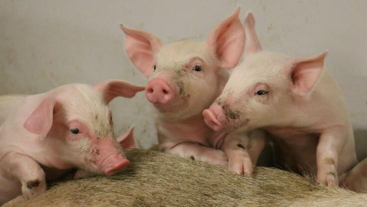 LandboNord: Sælg flere grise med erfaringer fra PattegriseLIV