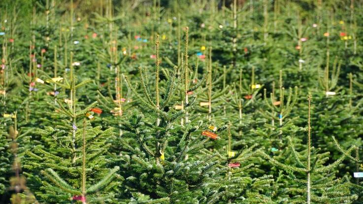 Kommune melder juletræsproducent til politiet