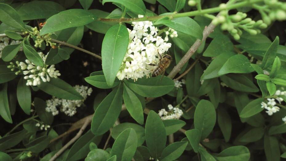 Honningbi-i-liguster
